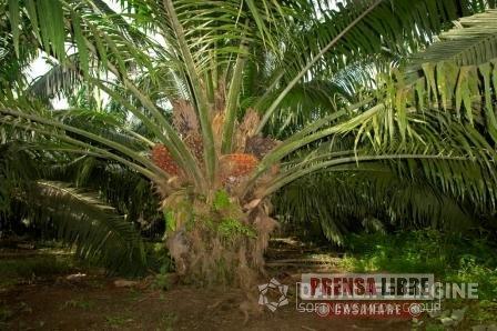 EN CASANARE HAY SEMBRADAS 70.000 HECTÁREAS DE PALMA AFRICANA