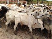 38 mil millones de pesos invertirán en proyecto de ganadería en los Llanos